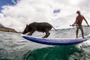 kama-surfing-pig